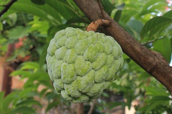 Flaszowiec peruwiański: owoc niecodzienny