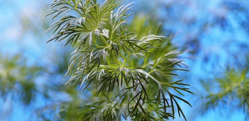 Koperek – mała roślinka o wielkiej mocy zdrowotnej