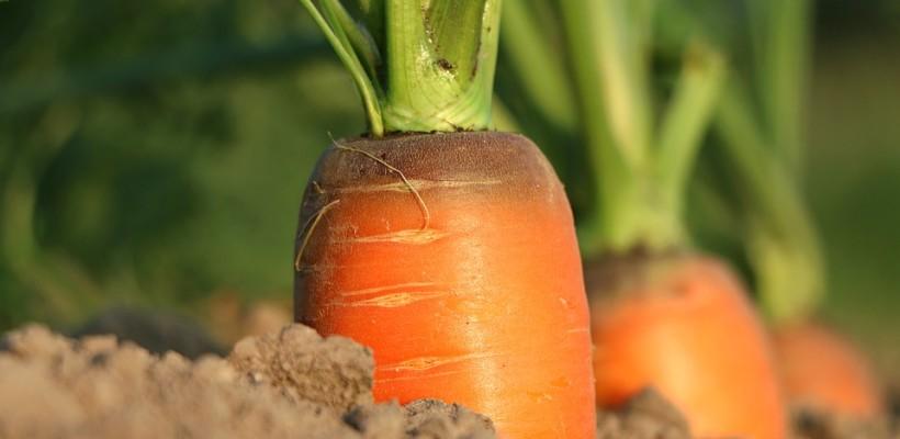 Marchew: warzywo uniwersalne